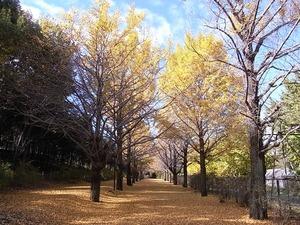 国営昭和記念公園のイチョウの並木道04