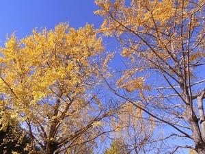 国営昭和記念公園の黄葉したイチョウ01