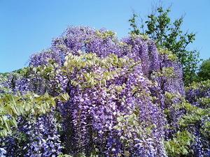 あしかがフラワーパーク満開で見頃の小振りな藤の花の上部