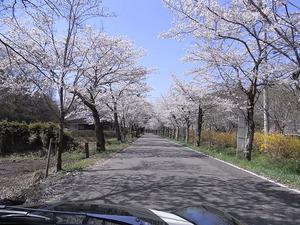 太平山遊覧道路 桜のトンネル5