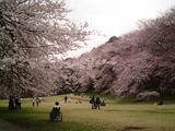 砧公園の桜17