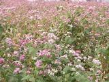 花が咲いているそば畑 アップ