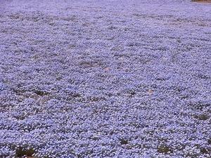 太田市北部運動公園 おおた芝桜まつり ネモフィラの花畑アップ2