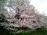 砧公園の桜20