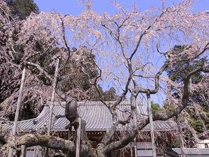 太平山 太山寺 枝垂桜アップ2