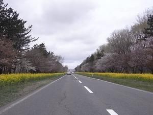 八郎潟11kmの菜の花と桜並木 スタート地点