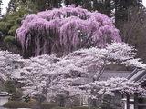 福聚寺の桜3