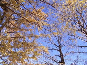 昭和記念公園うんどう広場近くのイチョウの木