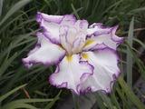 紫色で縁取った花菖蒲1