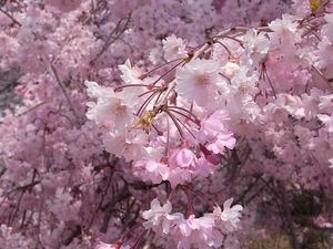 つがの里枝垂れ桜の満開の花アップ