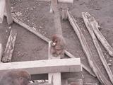 猿のお食事タイム6