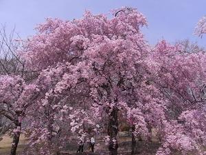 つがの里の枝垂れ桜1本