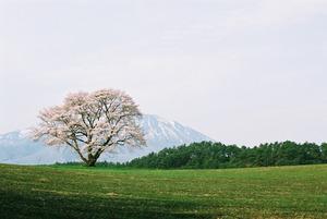 広大な小岩井農場に岩手山と一本桜