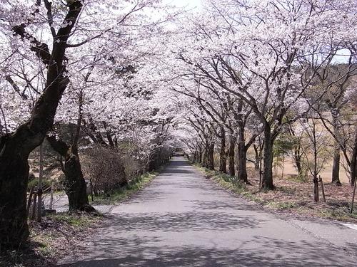 太平山遊覧道路 桜のトンネル
