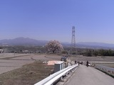 王仁塚の桜入口