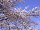 大法師公園の桜2