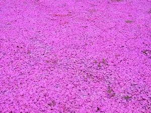 太田市北部運動公園 おおた芝桜まつり 密集したピンクの芝桜