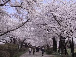 北上展勝地 満開の桜のトンネル3