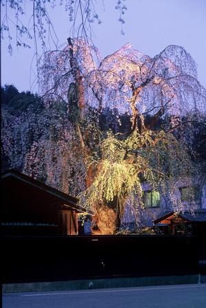 ライトに照らされ幽玄な姿を見せる東北三大桜角館武家屋敷のしだれ桜ライトアップ