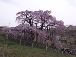三春滝桜を撮ってる人たち4