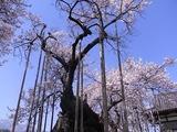 山高神代桜のアップ1