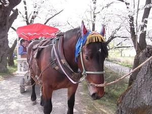 北上展勝地 満開の桜並木を歩く馬車