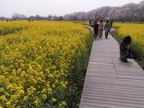 菜の花畑の遊歩道2