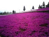 羊山公園の芝桜9