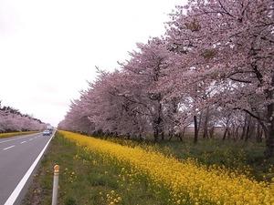八郎潟11kmの菜の花と桜並木 道の右側