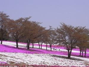 太田市北部運動公園 おおた芝桜まつり 桜の木と芝桜2