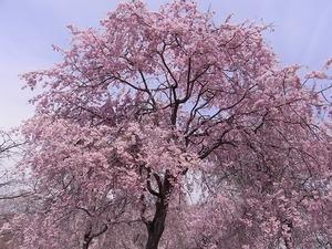 つがの里枝垂れ桜の満開の花