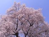 王仁塚の桜アップ2