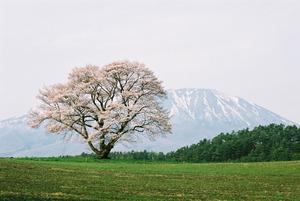 秀峰岩手山をバックに満開に花を咲かせた小岩井農場一本桜