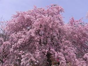 つがの里枝垂れ桜の満開の花の上部