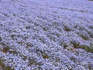 太田市北部運動公園 おおた芝桜まつり ネモフィラの花畑アップ1