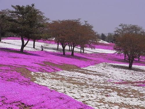 太田市北部運動公園 おおた芝桜まつり