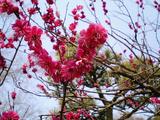 梅が満開水戸偕楽園12