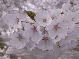 北上展勝地 桜の花アップ