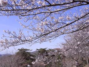 太平山 謙信平からの眺めと桜1