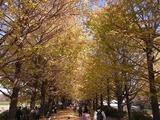 うんどう広場脇のイチョウ並木4