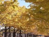 立川口前のイチョウ並木3