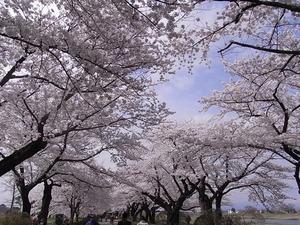 北上展勝地 目一杯花を咲かせた桜並木3