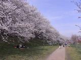 満開の桜並木アップ2