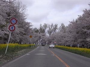 八郎潟11kmの菜の花と桜並木 コーナー