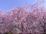 ピンクの色味が強い桜1