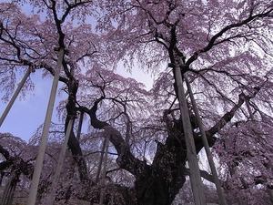 三春滝桜枝を支えられている姿