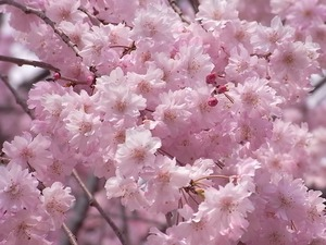 つがの里枝垂れ桜の満開の花々