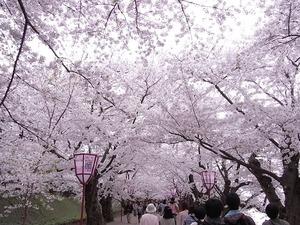 弘前城桜のトンネルを歩いている様子