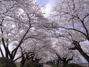 北上展勝地 目一杯花を咲かせた桜並木2