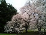 砧公園の桜10
